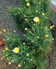 挿し芽で育てたマーガレットの花が開きそうです - 風恋華Diary