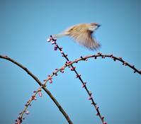 梅の約束 * promise of plum blossoms - ももさへづり*うた暦*Cent Chants d' une Chouette