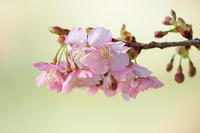 今は桜守りのお役目です - スポック艦長のPhoto Diary