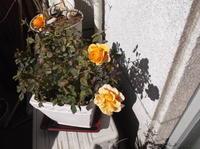 憲法便り#4451:【テーマ:太陽からのプレゼント】;ベランダの小さなアート「バラと影絵」を掲載します! - 岩田行雄の憲法便り・日刊憲法新聞