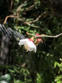 梅の花。。。 - umi no oto ♪
