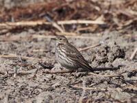 荒れ地のタヒバリ - コーヒー党の野鳥と自然パート3