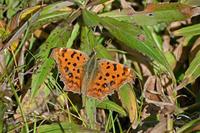 キタテハ春の蝶はまだ - 蝶のいる風景blog