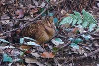 至近距離のヤマシギ(山鷸) - 野鳥などの撮影記録
