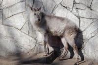 ニホンカモシカ「ムム」とシャフ度なシロヤギ「クッキー」(井の頭自然文化園 February 2020) - 続々・動物園ありマス。