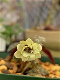 黄花ユキワリイチゲ~雪割一華の変種 - 園芸のいのうえ屋