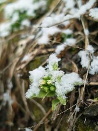 ふきのとうと白い雪・・・マンサク、満開! - 朽木小川より 「itiのデジカメ日記」 高島市の奥山・針畑からフォトエッセイ