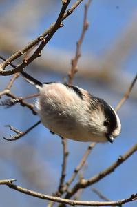 公園の可愛いエナガ - 阪南カワセミ【野鳥と自然の物語】