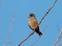 カワラヒワ - コーヒー党の野鳥と自然パート3