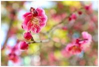 木の花は濃きも薄きも紅梅 -  one's  heart