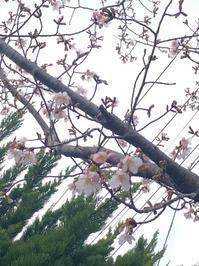 桜 - 花の窓