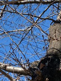 桜の木 - BEAUTIFUL THING