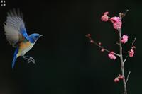 絡みつくルリビタキ - 野鳥公園