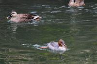 潜るカワアイサさん - 鳥と共に日々是好日②
