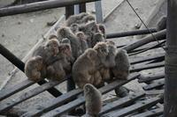 ウィンキー、サル団子の旅 - peanut daily 3