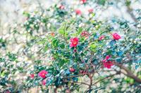 椿が咲く道 - 写真の記憶