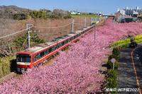 桜が見頃ですよ〜 『そうだ 三浦海岸、行こう 2021』 - 写愛館