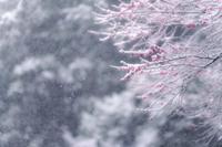 紅梅と雪 - Capu-photo Digital photographic Laboratory