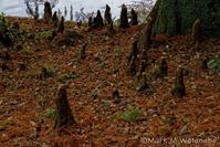 熊本市動植物園-落羽松 - Mark.M.Watanabeの熊本撮影紀行