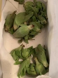 蕗の薹 - さんしゅゆの花