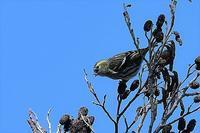 マヒワ - そらと林と鳥