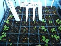2月10日に蒔いたナス科の種 - 美鈴とトラと私とお庭