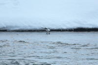 雪の河原のハクセキレイ2021/02/20 - 今朝の一枚 石狩川の朝