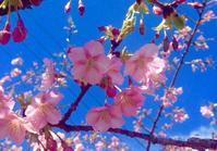 大分津久見の河津桜 - 香りの小部屋 雨針晴耕