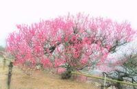 紅梅 - さぬき風花