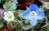 #コゴメイヌノフグリ #オオイヌノフグリ #早春の花「小米犬の陰嚢、大犬の陰嚢」 - 自然感察 *nature feeling*