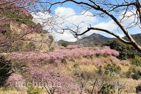 河津桜 - みちはた写真館フォトギャラリー