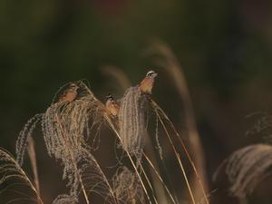 河原にて・・・ホオジロ・ハイタカ。 - 鳥見んGOO!(とりみんぐー!)野鳥との出逢い