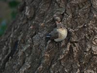 これで・・・ニシオジロビタキ。 - 鳥見んGOO!(とりみんぐー!)野鳥との出逢い