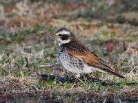 芝生の上で採餌するツグミ - コーヒー党の野鳥と自然パート3