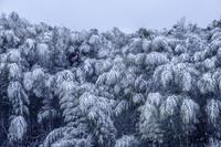 雪の竹林 - Capu-photo Digital photographic Laboratory