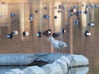 浮間公園~サンクチュアリにて2/21 - 青い鳥を探して