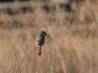 荒川河川敷にて 百舌鳥のみ2/21 - 青い鳥を探して