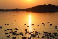 夕日のMFの沼でハクチョウを - 私の鳥撮り散歩