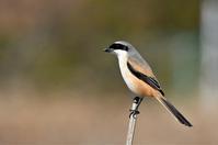 Long-tailed Shrike /  タカサゴモズ - AVES