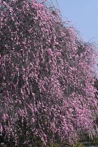 21年早春の自然(7)…今年も見事 - ふぉっしるもしてみむとてするなり