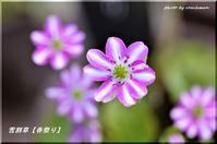 雪割草が咲いて春(百合が原公園) - 北海道photo一撮り旅