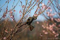 近所の桜も撃沈 - 撃沈風景写真