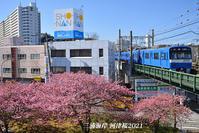 桜が見頃ですよ〜 『三浦海岸 河津桜2021』② - 写愛館