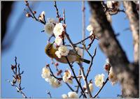 白梅メジロ-2 - 野鳥の素顔 <野鳥と日々の出来事>