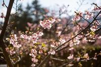 河津桜 - - 光景彡z工房 - ◇ SeasonⅢ ◇