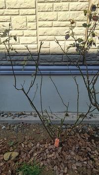 バラ剪定 - ウィズコロナのうちの庭の備忘録~Green's Garden~