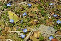 モンキチョウ春が来た - 蝶のいる風景blog