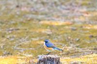 幸せの青い鳥3 - Pas a pas  一歩一歩