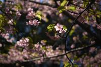河津桜 - IN MY LIFE Photograph