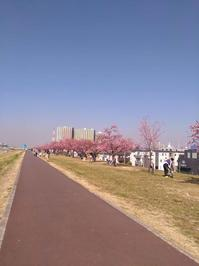江戸川の河津桜 - おーあーるしーぜろはちと仲間たち